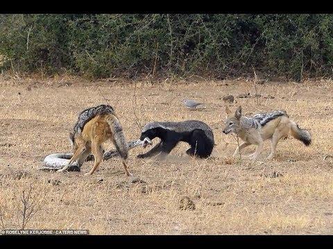 Lửng mật Gan To Như Súng đánh bật các đối thủ :Sư Tử Linh Cẩu Trăn Anaconda Phối hợp hoàn hảo