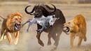 Trâu thật dũng mãnh 1 chọi 4 động vật Xả thân cứu đồng loại cuộc gặp gõ kịch tính báo đốm Sư Tử ngựa
