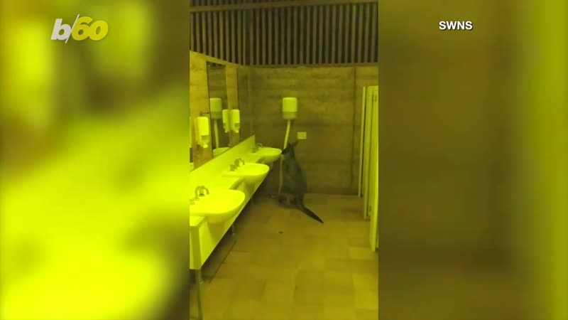 Video Shows Two Kangaroos Eating Toilet Rolls in a Men's Bathroom