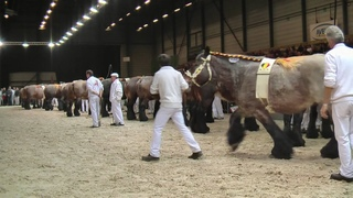 Belgian Draft Horses:national championship in the years from 2013 to 2020