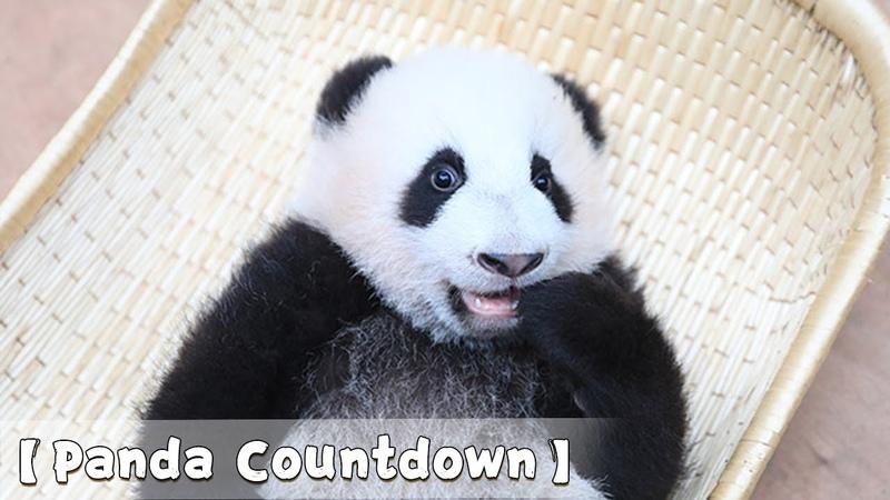 """Panda Countdown Baby Panda Sucking At Toe"""" ! A Exclusive Massage Service From Nanny iPanda"""