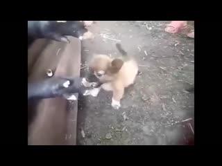 При охоте на кабана, главное оттащить пса, который его завалил