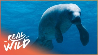 The Incredible Protection Of The Manatees Of Belize | 1000 Days for the Planet | Real Wild