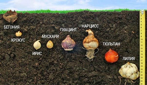Ярусная посадка луковичных цветов. Как посадить луковичные цветы в горшок