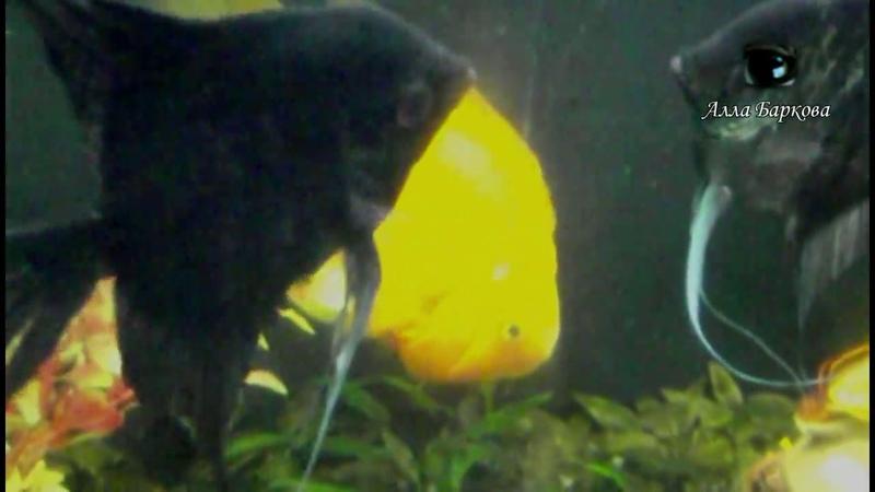 Комедия Сваты в аквариуме