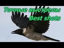 Почему надо стрелять ворон Точные выстрелы Why we shoot gray crow Best shots on crows