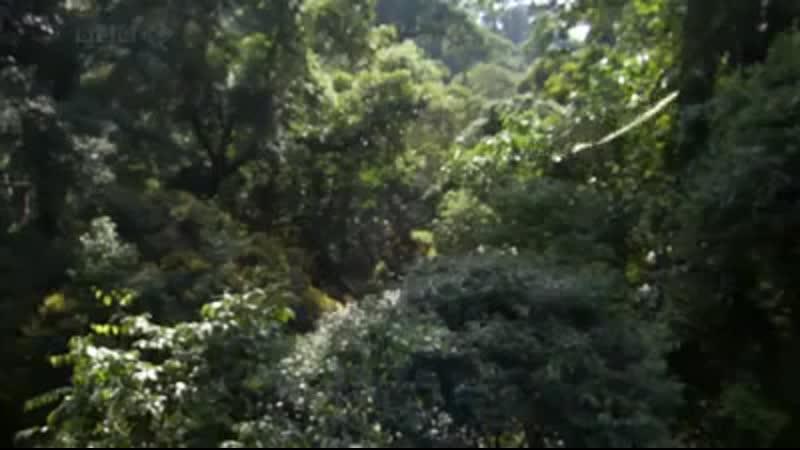 Планирующие семяна яванского огурца