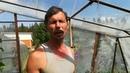 Результаты томатов без пасынкования