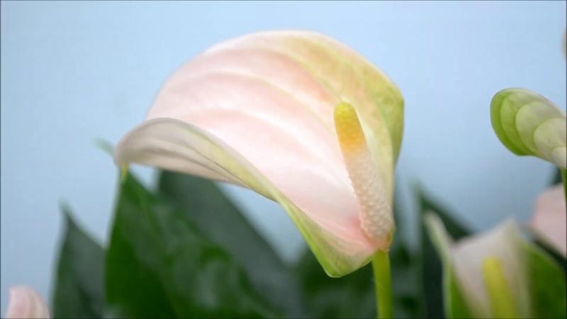Антуриум Joli Peach. Цветение антуриума Джоли персиковый