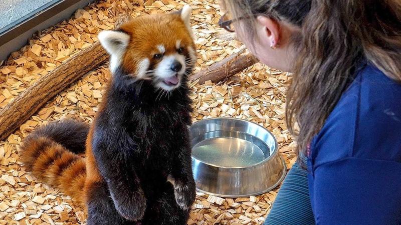 レッサーパンダ エイタの屋内お食事模様 Red Panda EITA at Maruyama Zoo