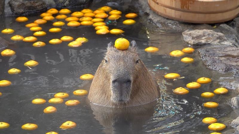 Capybara with mandarin orange on head in the open air bath☆みかんを頭にのせるカピバラ 伊豆シャボテン動物公園 元祖カピバラの露天風呂
