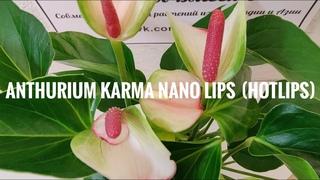 Anthurium Karma Nano lips (Hotlips) / Антуриум Карма Нанолипс (Хотлипс) 9/25
