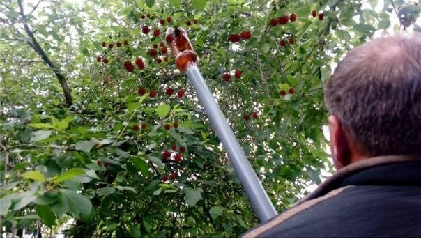 Комбайн для сбора ягод из бутылки  рвём вишни на высоте с земли