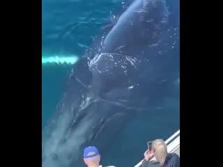 Гигантский горбатый кит развлекает туристов.