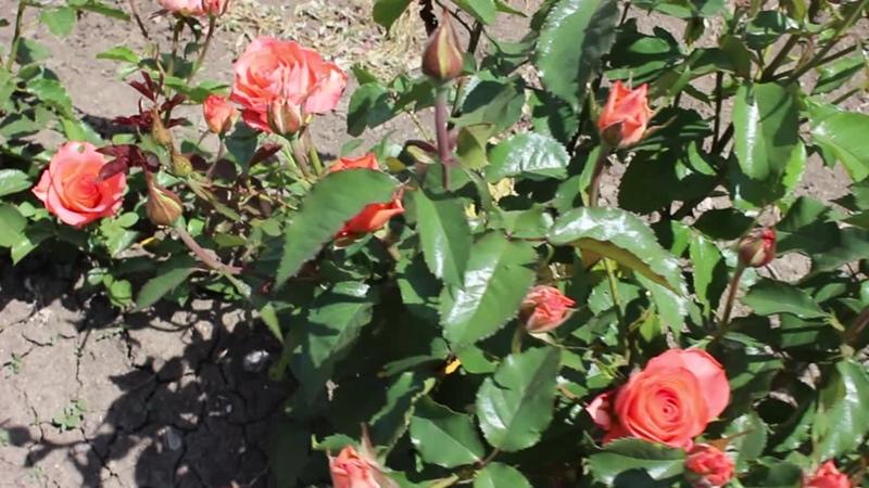 Наши красавицы розы красотища