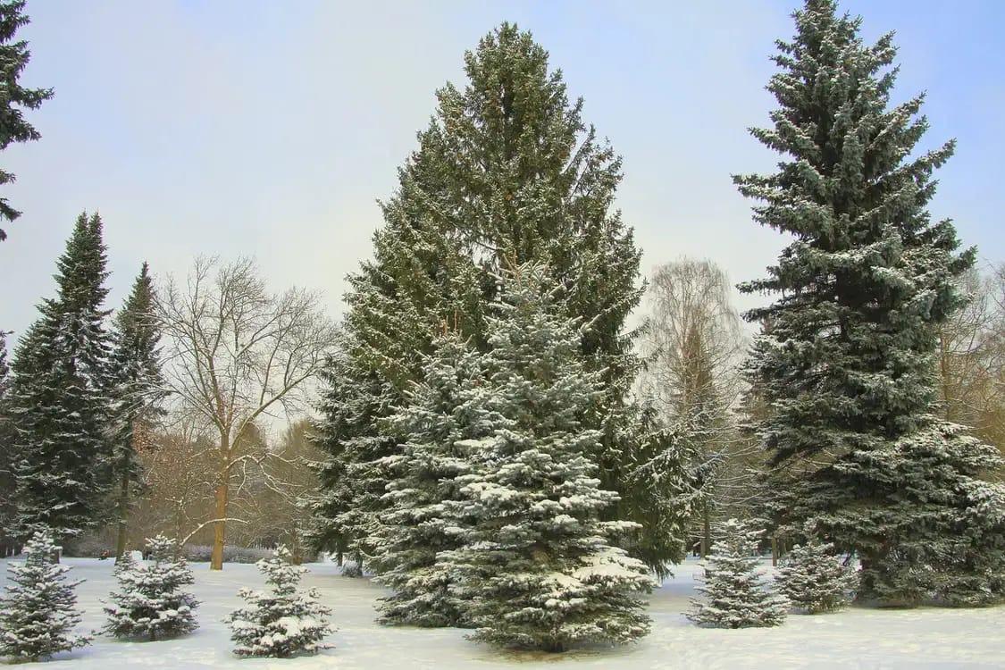 Живая новогодняя ель появится в центре города 20 декабря