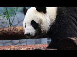 Дни рождения больших панд в Московском зоопарке