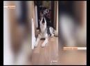 Поющая собака блогер из Когалыма