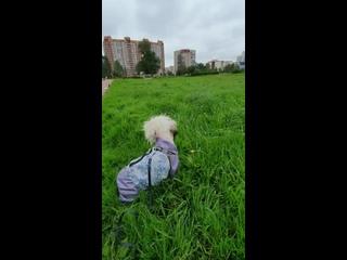 ХелпДогМини СПБ.Помощь миниатюрным породам собак kullanıcısından video