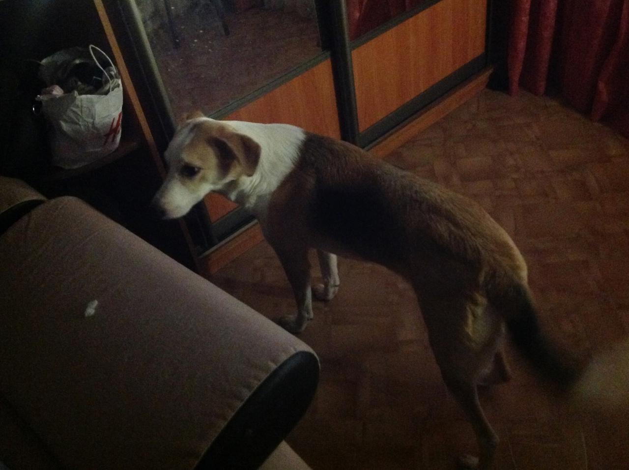 Собака выбежала из квартиры, если кто-то увидит,