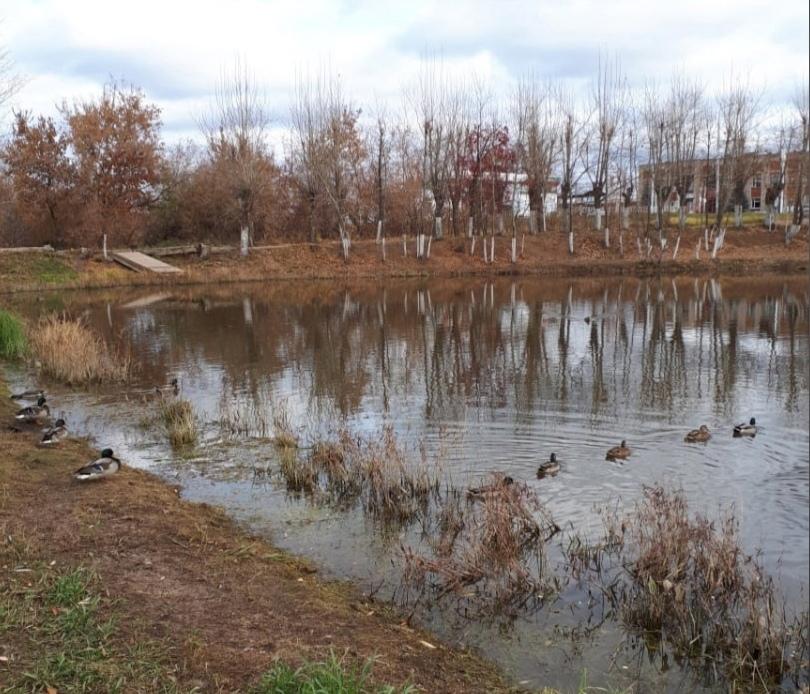 На Шиловском пруду поселились уточки. Смотрите, как