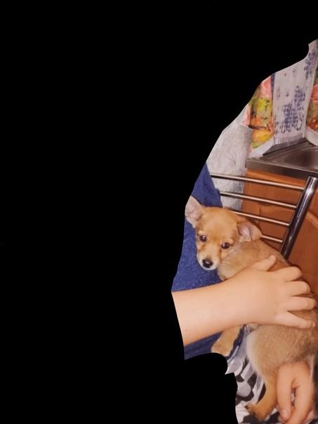 Добрый вечер, потерялась Собака, Рыжий Пинчер, В р...