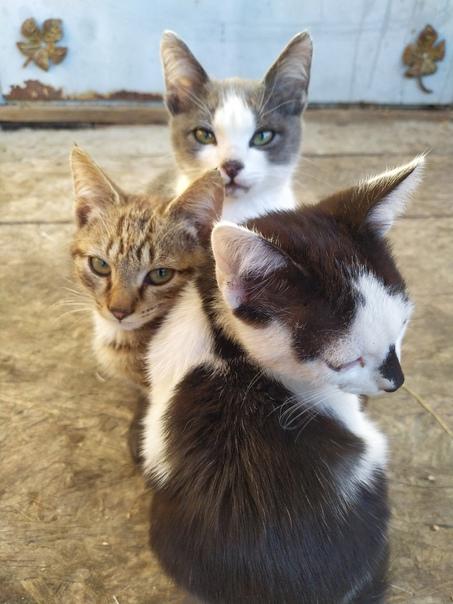 Отдам котят в добрые руки. Все мальчики. Приучены ...