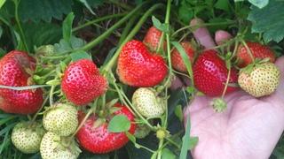 Как увеличить урожай клубники. Советы и рекомендации по выращиванию клубники