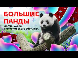 Большие панды. Мастер-класс от Московского зоопарка
