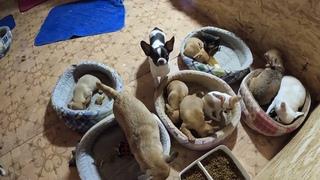 Чихуа мама играет с дочкой /ПРОДАЮ Щенков породы ЧИХУАХУА/КУПИТЬ щенка в питомнике Санкт - Петербург