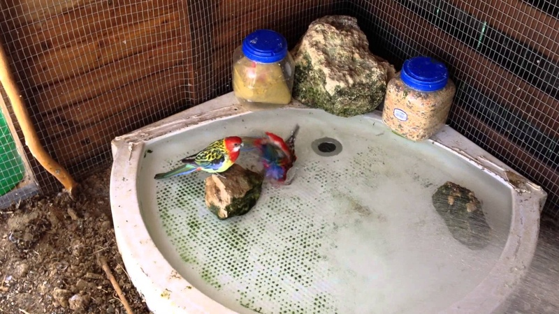 Rosellas bath time
