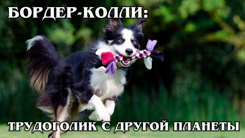 БОРДЕР КОЛЛИ Самый умный и трудолюбивый пёс Интересные факты про породы собак и животных