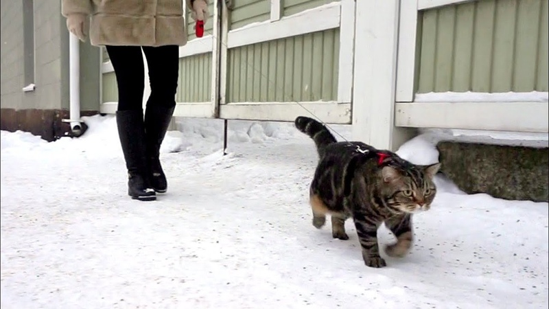 Как гулять с котом зимой How to walk a cat in the wintertime