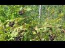 Rubus fruticosus 2