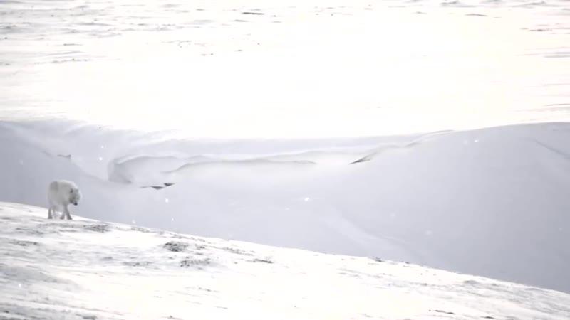 Игорь Корнилов Белый полярный волк