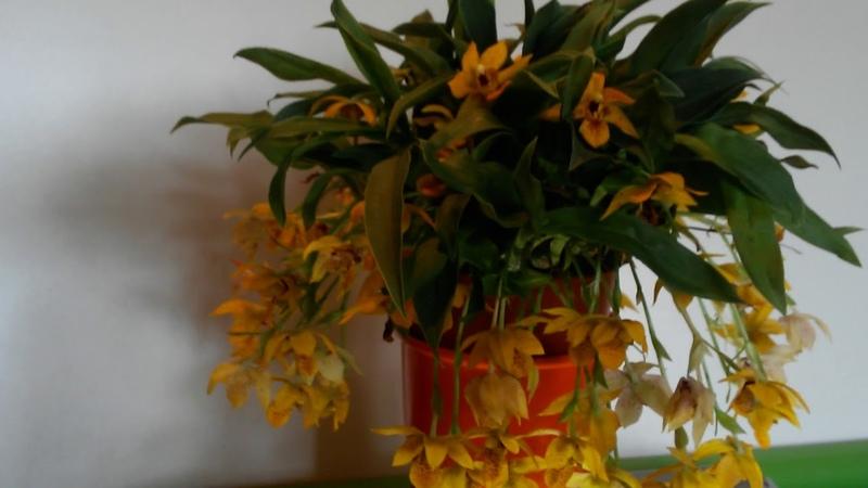 Орхидея Променея Уход за Променей