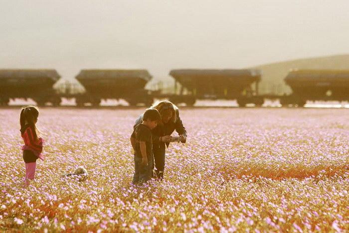 Цветущая пустыня Атакама, изображение №3