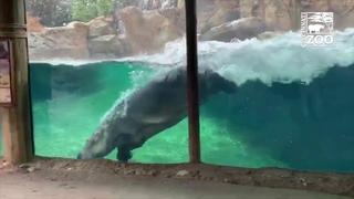 Hippo Fiona Having a Whale of a Good Time - Cincinnati Zoo